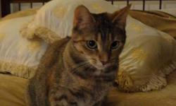 Two beautiful and adorable female cats looking for a home.  Mika is brown and grey with short hair, two years old.  Markiza is white, brown and black with long hair, four years old. They are in house cats, were vaccinated as kittens and not fixed.