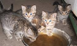 I HAVE TWO TABBY KITTENS LEFT TO GO TO A GOOD HOME!!