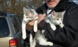 2 FREE male kittens - they are house kittens that are litter trained and very friendly. Call Steve: 519-875-1533. 1 month return if you change your mind.