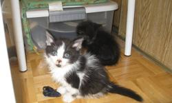 Two wonderful kittens to a good home only. Kittens are completely litter trained, eating dry and canned kitten food and regular home food. They have been treated against ticks, fleas and worms. Delivery is available for reasonable distances.