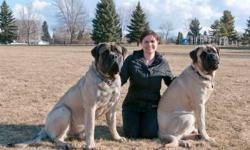 Two male purebred English Mastiffs 2.5 years old for sale.  Due to unfortunate circumstances, a new job which requires much travelling and a move to a much smaller house, we are no longer able to properly look after our dogs. We decided to charge a