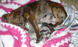 Delighted to Announce the Arrival of 2 Stunning Sisters! 1-Blue with White Irish Collar-4-5lbs full grown 1-Blue Brindled Fawn-4-5lbs Full Grown All puppies come with: 2yr health gurantee 1st shots dewormed vet checked Mom is a Chocolate Brindle Short