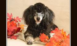 """Teen to adult aged toy poodles available, looking for forever pet homes.. ready to go now ! For more information and pictures please go to my website @ :    beautifulpoodles.com      and click on the """"adult dogs for sale page"""". We can be reached by email"""
