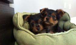 Hi there! Only two puppy's left. One handsome boy and tiny girl. They are pee pad trained, eat solid puppy food. They almost 2 two month old. Boy will be mature up to 6lb, but he got gorgeous fur and color that doesn't seen on the pic . Puppies will go to