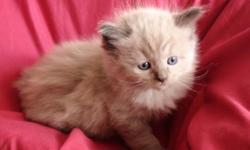 """Just in time for Christmas:   We have two litters born Sep 19 & Oct 02, 2011 and they will be ready around Christmas time: Ultra Rare Seal Point Mink """"Male"""" --------------""""Pic #1""""    Ultra Rare Seal Point Mink """"Male"""" ------------- """"Pic #2""""     Ultra Rare"""
