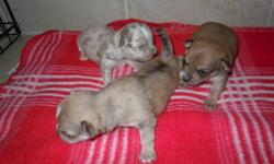 Uniquely colored Chihuahua's, 3 are merle's with 1 being a blue merle( grey male) and as well a blue (grey female). 4 girls and 3 boys are available, these sweethearts will be vet checked with their shots when they are old enough to go to their new homes.