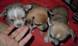 4 girl's and 3 boys ready for their new homes on Nov 11, currently are 4 weeks old. Uniquely colored, short haired Chihuahua's 3 are Merle's. Will come with their shots and a puppy starter kit. $500.00, located just outside Osler, 15 min's from Costco.
