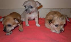 Unique Chihuahua's ready Nov 11. 3 boys (2 are merle) and 3 girls (1 is merle) are left. The pups come from short haired, CKC registered parents. Will come with a puppy kit and be well socialized with other dogs and kids. Deposit will hold puppy till