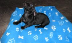 2 UNIQUE SOLID BLACK (NO TAN POINTS) SHORT HAIR MINIATURE DACHSHUND MALES   SOCIALIZED & PEE PAD TRAINED   HAVE BEEN VET CHECKED & HAVE 1ST SET OF VACCINATIONS   COME WITH VET RECORD & PUPPY PACK   PLEASE EMAIL OR CALL 306-480-8306 IF INTERESTED.
