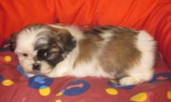 Ready to join his new home This beautiful little male was raised underfoot. Fully socialized with other animals, kids and people of all ages.  Comes to you with the following ` Vet Certificate ` Shots ` Wormed `Crate training started `Fully socialized