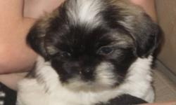 Ready to join there new homes starting Jan 17 2012 These beautiful little males are raised underfoot. They are being fully socialized with other animals, kids and people of all ages. They will come to you with the following ` Vet Certificate ` Shots `