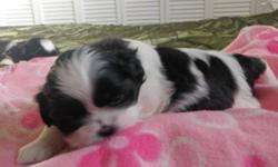 I have 1 healthy lovable female purebred shih tzu puppy who is ready to go before Valentine's Day.  She's the last one!  Serious inquiries only, please.   Joy