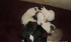 VALLEY BULL PUPPIES, 4 MALES,3 FEMALES.  BOTH MOTHER AND FATHER ARE VALLEY BULLS. MOM AND DAD ARE VERY WELL MANNERED, LAID BACK KIND OF DOGS, THEY MAKE GREAT PETS.PUPPIES WILL HAVE FIRST SET OF NEEDLES/AND  DEWORMED . FOR MORE INFO PLEASE CALL