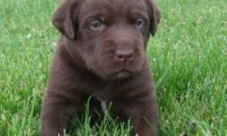 This is an adorable litter of Labrador Retreivers. Puppies are all a nice deep chocolate color.  Both parents are purebred but puppies are sold without papers.  Our puppies are raised with kids by an experienced, vet recommended breeder.  All of our