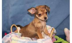 """Adorable """"Chiweenie"""" puppies!    They will stay very small, maturing to 5-7 lbs.  They love to cuddle and are very playful.  They are ready to go to their new homes now!  They have had their first vaccination and been dewormed.  New owners will receive a"""