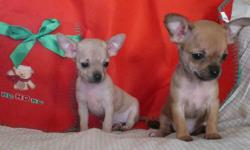 These active alert little girls are too small for most teacups. . . Vacc 2x,dewormed often vet checked and started on pee pads. Comes with health records and a started pack of food. Phil and Gail 306 483 2201 Just the darker pup left