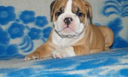 Two Absoloutly Darling Males Available..  Zack and Cody are true sweetheart of pups.  Amazing laid back kids, very happy healthy little boys with a phenomenal Champion Pedigree.  Their sire and mother are both Champions very healthy & sound Bullies!