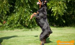 Breeders of top European imported bloodlines !   Breeding for tempereament, confirmation, drive, nerve & working ability. We strive to breed versatile Rottweilers to be the ultimate working & companion dog! All our dogs are show quality & are shown at CKC