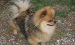 looking for a small  male dog ( pomeranian ,chihuahua, x, )to breed my female pomeranian she weighs around 6-8lbs. she is in heat right now, started about dec 15. i need to be able to leave her at your home , since i have 2 large dogs that will not allow