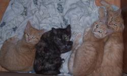 3 Orange Boys and a Tortoise Shell Girl! All Adorable. Desperate for Love. I went to visit a friend this weekend to find he has 4 sweet kittens living in a bedroom that desperately need homes! They are friendly, playful, affectionate, healthy, clean,