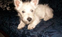 Westie pup 3 ½ months old we have only 1 female left. Westies are hypo-allergenic and non-shedding our pup is home raised and gives you unconditional love. She is very friendly and easy going, house trained and loves to play with day care kids. She now
