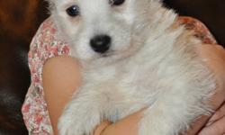 """This SWEET little girl is an """"only child"""" and she is such a doll!  If you want a companion who will follow you around the house and bring joy to every aspect of your life then Cha Cha is the puppy for you!  Westies are non-shedding dogs with great"""