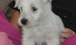 This little girl is the only pup we have left from her family!  She is a happy go lucky pup that is used to being with children.  Vaccinations and dewormings up to date.  Westies are non-shedding dogs who love to spend time outside even when it is cold!