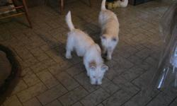 We have two male westie pups available, they are friendly out going and good with children. They are Canadian Kennel Club registered, micro-chipped, had all shots and vet checked. We are located ten minutes north of London.   519-666-1049