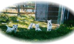 Wonderful Westie Puppies Available Now!! Canadian Kennel Club Registered Puppies bred by responsible breeder breeding for pets with excellent temperament that make wonderful life long companions. Puppies will be registered, microchipped, have first shots,