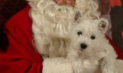 They are champion pure bred West Highland White Terriers. They come with a health guarantee, the parents have been checked by DNA and are not carriers of any known defects. They have been lovingly, holistically(as possible) raised and cared for in my
