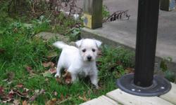 Great price for a Westie! Westie?s  are low to non shedding. They are a great companion. Love people around them, and although they are small they still are good watch dogs. They love to play and love to cuddle up. They get along well with behaved
