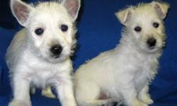 We have two very nice, very playful and cute Westie puppies ready to go to their new home. One male and 1 female. Westies are an awesome companion. They are low to non shedding. They will grow up to around 12-15 lbs.   They are born Oct 13.   If you are