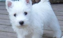 Purebred CKC Registered Westie Puppies available. Puppies will be Vet Checked and have their shots and deworming. Well socialized with our family in our home. From champion bloodlines. Excellent coat quality and temperament. Come with a one year health