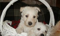 Westies, male and female come with Vet papers,these pups come from hardy parents Mom from BC, Dad from southern Ont,pups are strong and healthy  $650. Pictures can be found on Sault Ste Marie Kijiji,will meet part way.