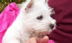 Purebred CKC Registered Westie Puppies available. Ready to go to their new home. Puppies have been Vet Checked and had their shots and deworming. Well socialized with our family in our home. From champion bloodlines. Excellent coat quality and