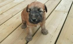 Wheaten Terrier puppies ready to go mid Nov.  Males & females available.  Tails docked, vet checked and first shots.  These are non-shedding dogs, easy to train, friendly, great with children and love attention.   Puppies can be delivered to Lloydminster