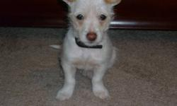 three months old pure white chihuahua call 780 8020083