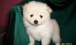 Just one left! Beautiful fluffy white and cream male Pomeranian puppies.  They will be ready for their new homes the middle of January.  They will come with first vaccine and health guarantee.  Please contact us to put a deposit on one of these little
