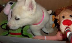 A few have small dark markings around the nose ,Call Richard for any questions @604319 8419 . These malamute ,wolf cross are handled daily , they have had the first shots of three ,next due in four weeks and again at eight weeks. They mostly white but