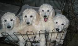For your consideration. Exceptional homes required for an exceptional litter of CKC registered White Standard Poodle Puppies. Carefully home raised. Shots, vet checked. Both parents champions.  All sold with non-breeding agreements.