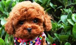 Boys and Girls available for sale!! Won't last long. Red Color Toy Poodle Puppies. Teacup toy and Tiny toy size.They have been to the vet and had an exam and their first shots and will come with their records. These puppies are hypoallergenic and non