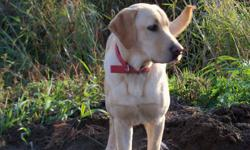 yellow lab male for sale seven months old for $400 all shots done for more info call 778 552 1221