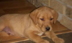 New litter~Beautiful, loved pups~GORGEOUS colouring~from white-golden-red~~Ready to go now~~males & females available  Vet checked, 1st shots, dewormed3x, dew clwas removed, vet health vacccination record.  Family raised>mom & dad are our family yellow