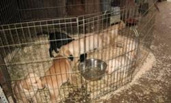 Yellow Lab Puppies for sale 9 weeks old..$500.00. 5 Males (1 black ) 2 Females.....Ph.Phil..# 604-466-0562...