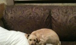 I have a 3 month old pure bread yellow lab pup. We own both parents and he is 1 out of a litter of 8, no he isn't the runt. Max is very loyal and dosent go far from his master. I have him house trained and he is happy just to hang out on the couch