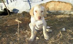 I have one really nice male yellow lab left and he needs to find a home, im asking 250 but im open to offers . he has first shots.