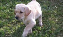 Yellow lab puppies born august 22/2011 females and males available family raised with 3 young kids and other animals the mother has an excellent temperament with kids and other dogs will be ready to go on October 22 they will have their vaccinations,