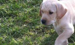 Yellow lab puppies Born august 22 2011 males and females available family raised with three young children mother has an excellent temperament with kids and other dogs will be ready oct 21 with there vaccinations, worming and vet checks. This ad was