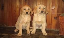 Beautiful yellow Labrador puppies. they have been vet checked and have had their first shots. Great indoor/outdoor family companions. One male and one female to pick from For more info call 403-308-9118 from Mon-Sat only.