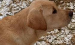 5 beautiful yellow lab males ready to go have shots vet checks and worming. Parents have nice dispositions and are very nice looking dogs. This ad was posted with the Kijiji Classifieds app.